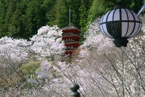 奈良・長谷寺の桜