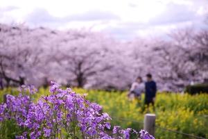 奈良・石舞台の桜
