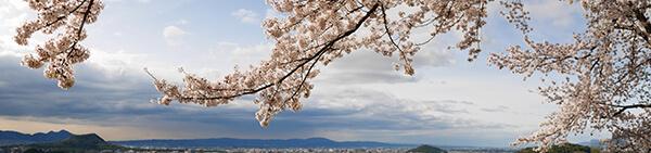 奈良・甘樫丘の桜