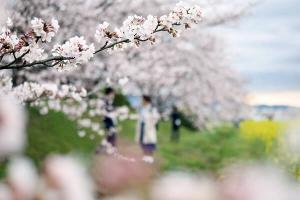 奈良・藤原京跡の桜・菜の花